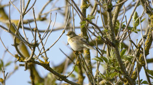 Common Chiffchaff, Zilpzalp, Phylloscopus collybita
