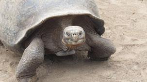Galapagos Tortoise, Galapagos-Schildkröte, Chelonoidis nigra