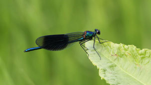 Beautiful Demoiselle, Blauflügel-Prachtlibelle, Calopteryx virgo