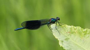 Beautiful Demoiselle, Blauflügel-Prachtlibelle, Calopteryx virgo