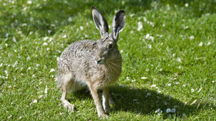 European Hare, Feldhase, Lepus europaeus, Fehmarn