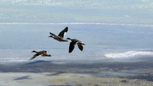 Crested Duck, Schopfente, Lophonetta specularioides, Laguna Blanca