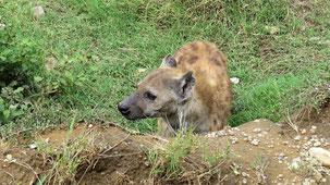 Spotted Hyena, Tüpfelhyäne, Crocuta crocuta