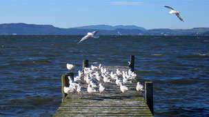 Black-billed Gull, Maorimöwe, Chroicocephalus bulleri, Lake Rotorua