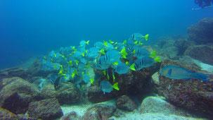 Razor Surgeonfish, Galapagos-Doktor, Prionurus laticlavius