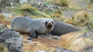 New Zealand Fur Seal, Neuseeländischer Seebär, Arctocephalus forsteri