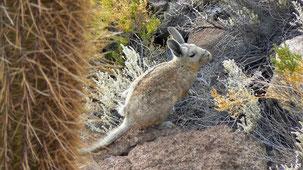 Vizcacha, Viscacha, Lagostomus maximus, Isla de Pescados, Salar de Uyuini