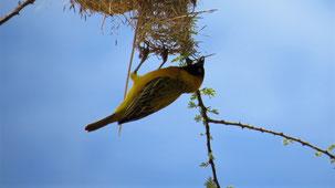 Lesser masked Weaver, Maskenweber, Ploceus velatus