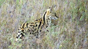 Serval, Serval, Leptailurus serval, Serengeti