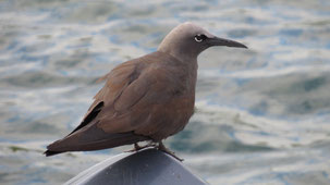 Brown Noddy, Noddi, Anous stolidus