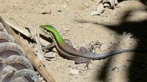 Cocha Whiptail, Kentropyx altamazonica, Madidi NP