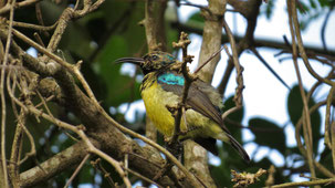 Collared Sunbird, Miombonektarvogel, Hedydipna collaris