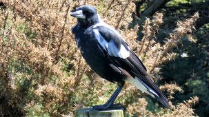 Australian Magpie, Flötenvogel, Cracticus tibicen
