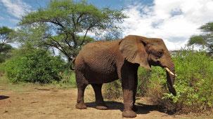African Elephant, Afrikansicher Elefant, Loxodonta africana