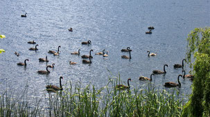 Black Swan, Trauerschwan, Cygnus atratus