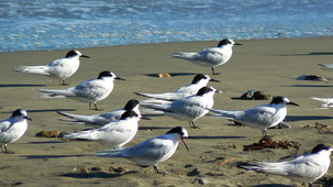 White-fronted tern, Taraseeschwalbe, Sterna striata, Coromandel