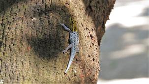 White-headed Dwarf Gecko, Gelbkopf-Zerggecko, Lygodactylus picturatus