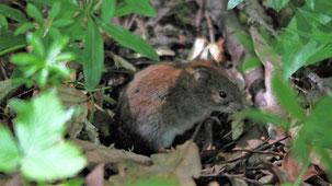 Wood Mouse, Waldmaus, Apodemus sylvaticus