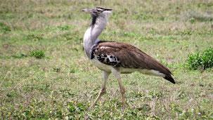 Kori Bustard, Riesentrappe, Ardeotis kori, Serengeti