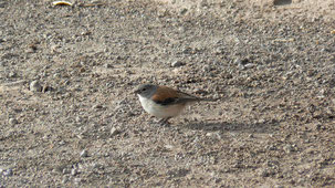 Red-backed Sierra Finch, Braunmantelämmerling, Phrygilus dorsalis, Uyuni