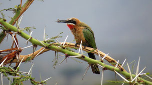 White-fronted Bee-Eater, Weißstirnspint, Merops bullockoides