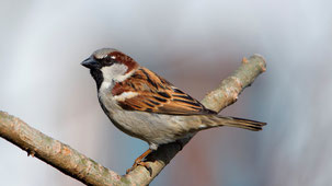 House Sparrow, Haussperling, Passer domesticus
