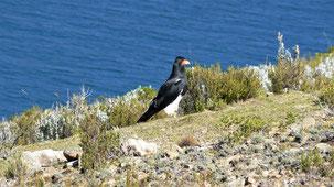 Mountain Caracara, Berg-Karakara, Phalcoboenus megalopterus, Isla del sol, Titicaca