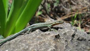 Pelasgian Rock Lizard, Pelasgische Eidechse, Anatololacerta pelasgiana