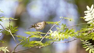 Common Chaffinch, Buchfink, Fringilla coelebs (female)