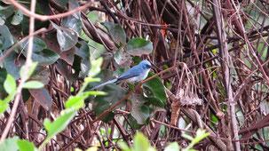 African Blue flycatcher, Türkiselminie, elminia longicauda