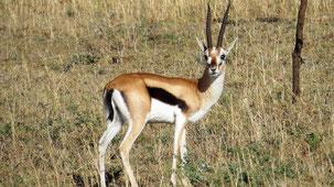 Thomson´s Gazelle, Thomson-Gazelle, Eudorcas thomsonii