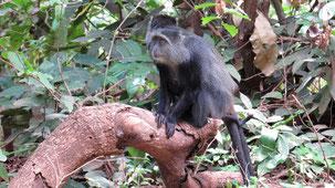 Blue Monkey, Diademmeerkatze, Cercopithecus mitis