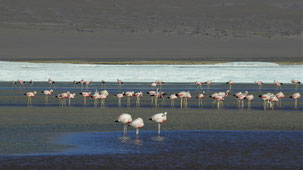 Andean Flamingo, Andenflamingo, Phoenicoparrus andinus