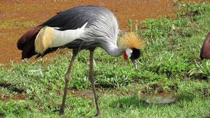 Grey-crowned Crane, Kronenkranich, Balearica pavonina, Lake Manyara National Park