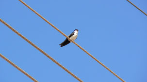 Blue-and-white Swallow, Schwarzsteißschwalbe, Notiochelidon cyanoleuca
