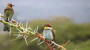 European Bee-Eater, Bienenfreser, Merops apiaster