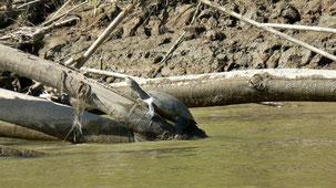 Arrau Turtle, Arrau-Schildkröte,  Podocnemis expansa
