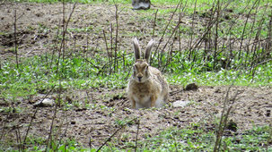 Cape Hare, Kaphase, Lepus Capensis