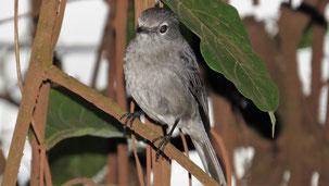 Ashy Flycatcher, Schieferchnäpper, Muscicapa caerulescens