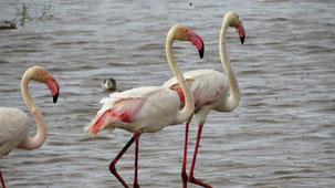 Greater Flamingo, Rosaflamingo, Phoenicopterus roseus, Lake Manyara National Park