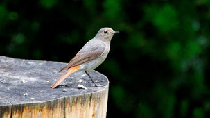Black Redstart, Hausrotschwanz, Phoenicurus ochruros (female)