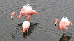 American Flamingo, Kubaflamingo, Phoenicopterus ruber
