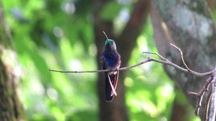 Fork-tailed Woodnymph, Schwalbennymphe, Thalurania furcata, Reserva Naciona San Rafael