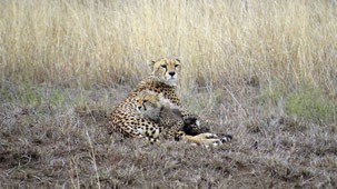 Cheetah, Gepard, Acinonyx jubatus, Serengeti National Park