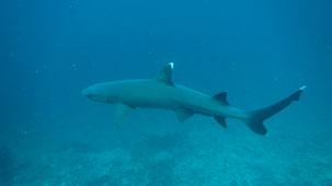 Whitetip Reef Shark, Weißspitzenriffhai, Triaenodon obesus