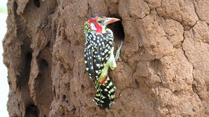 Red-and-yellow Barbet, Flammenkopf-Bartvogel, Trachyphonus erythrocephalus