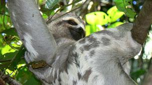 Three-toed Sloth, Dreifinger-Faultier, Bradypus, Serere Eco Reserve