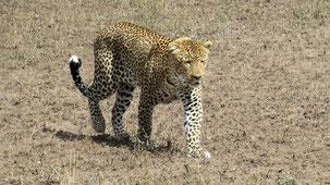 Leopard, Leopard, Panthera pardus, Serengeti