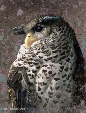 ネパールワシミミズクのイラスト,野鳥画,鳥の絵、版画販売