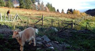 Chèvres et Fromages